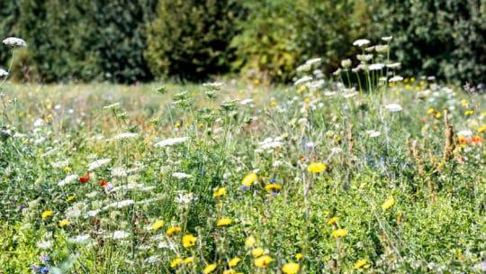 Pfalzmarkt schafft Artenvielfalt Blühflächen